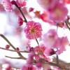 花見で梅の時期は?関西ではどこがいい?温泉も入りたい!